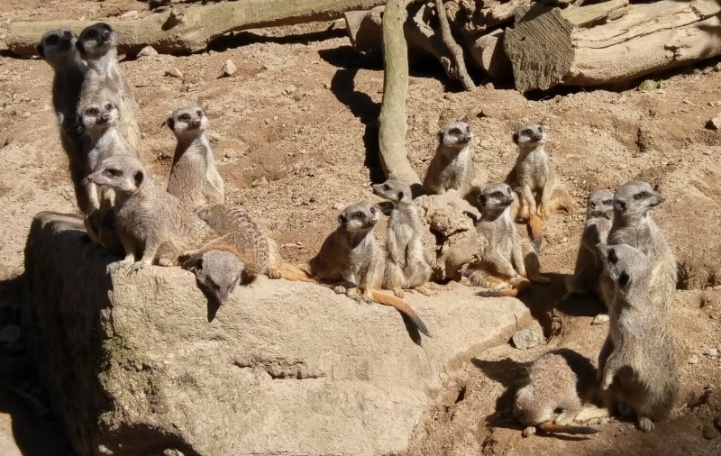 Meerkats at Newquay Zoo